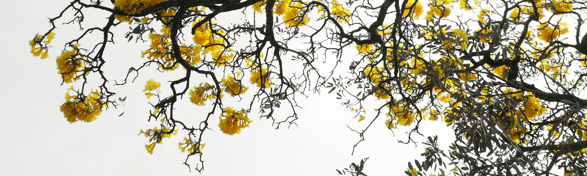Kassia Academy - Therapeutic Approaches image of tree with branches yellow blossom
