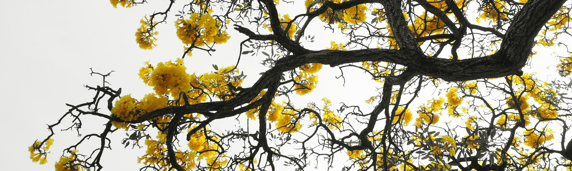 Kassia Academy About Us header image of yellow blossom on trees